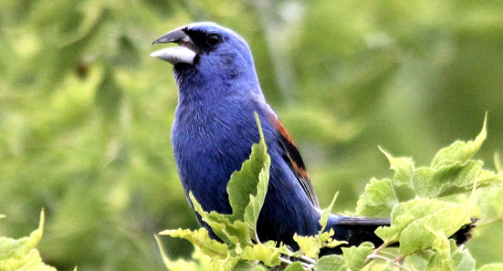 Blue Grosbeak (c) Doug Harr