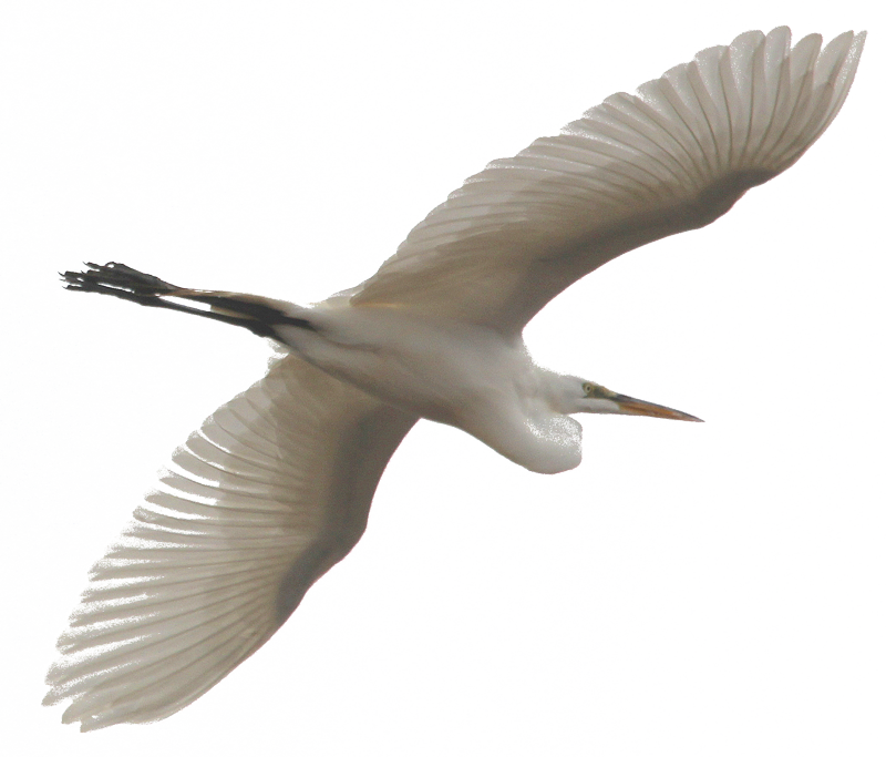 Great Egret (c) Doug Harr